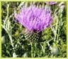 blessedthistle_5